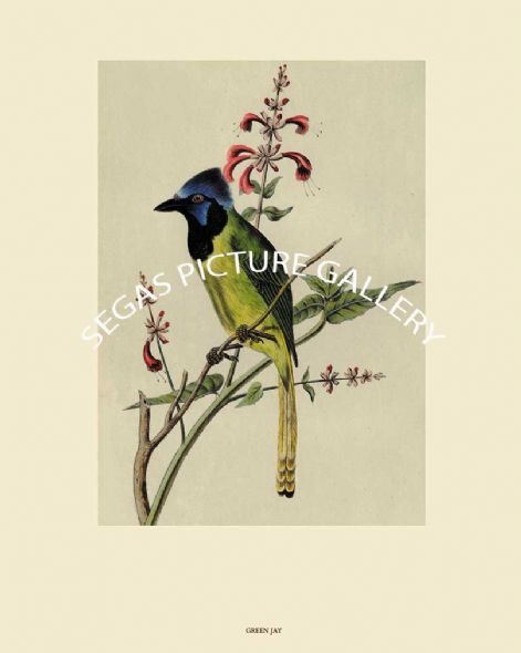 Fine art Print of the Green Jay or Mexican Jay by John Cassin (1856)
